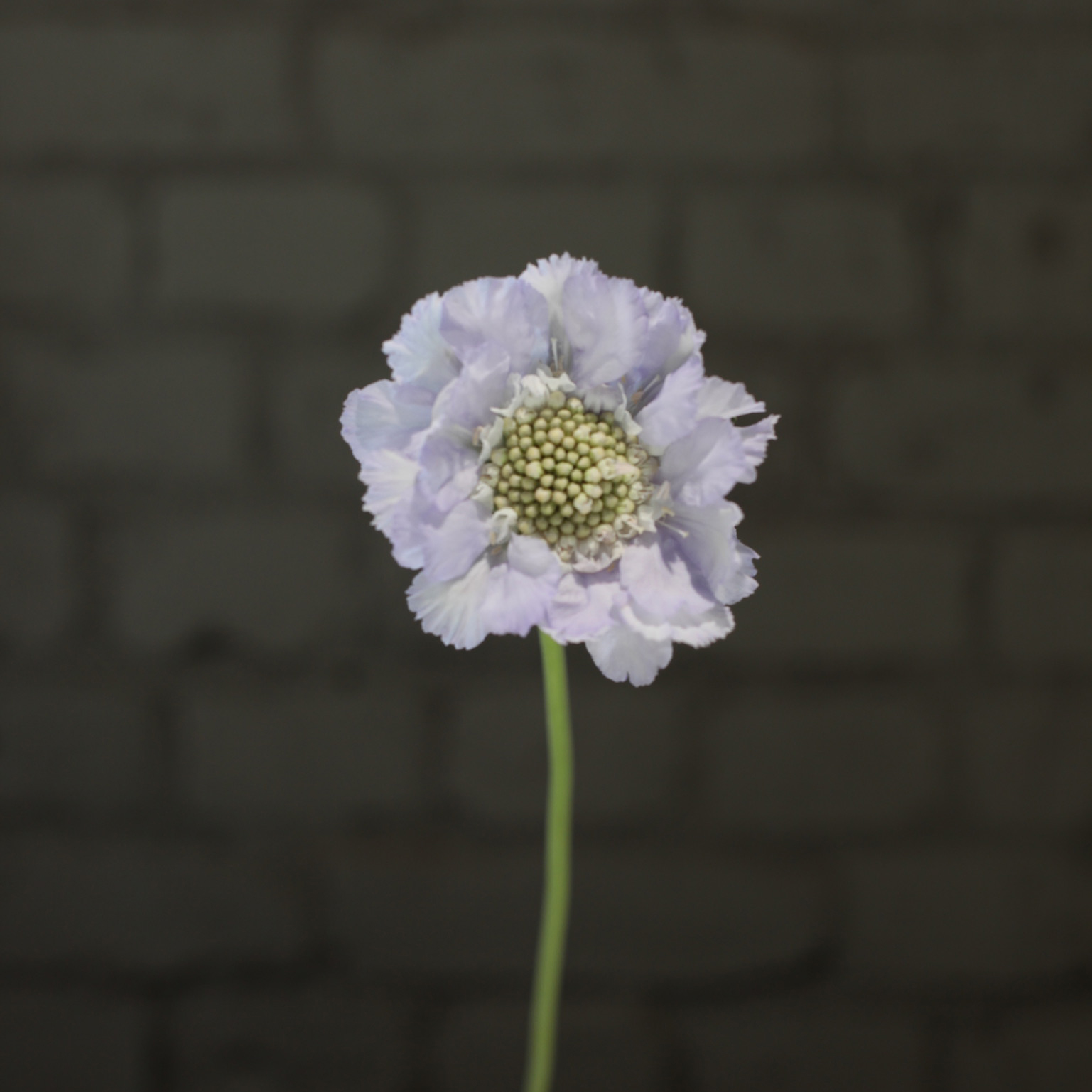 Цветы «D&K Flowers House»: Скабиоза Классическая Лиза»