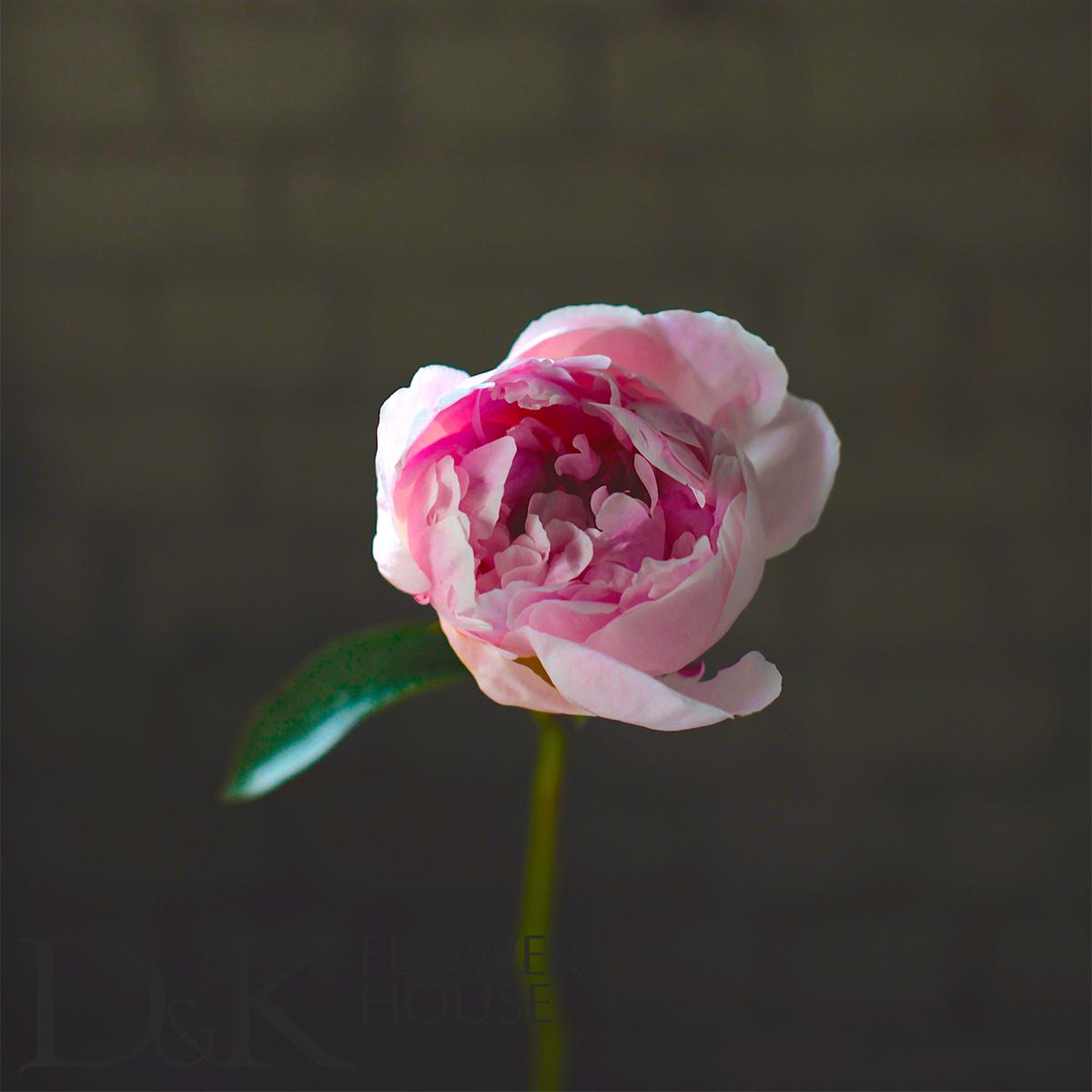 Цветы «D&K Flowers House»: Пион «Сара Бернар»