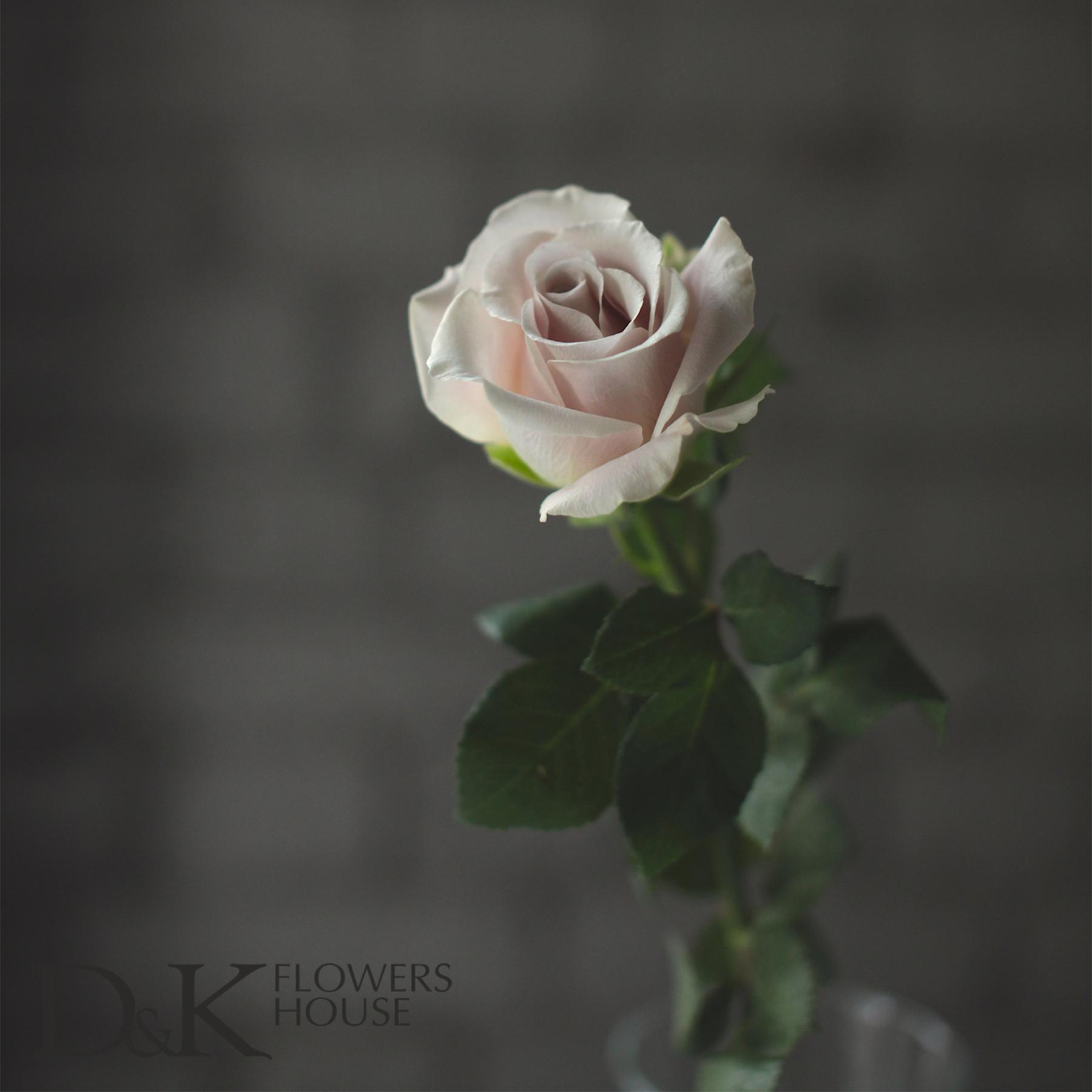 Цветы D&K Flowers House: Роза Juliet от David Austin