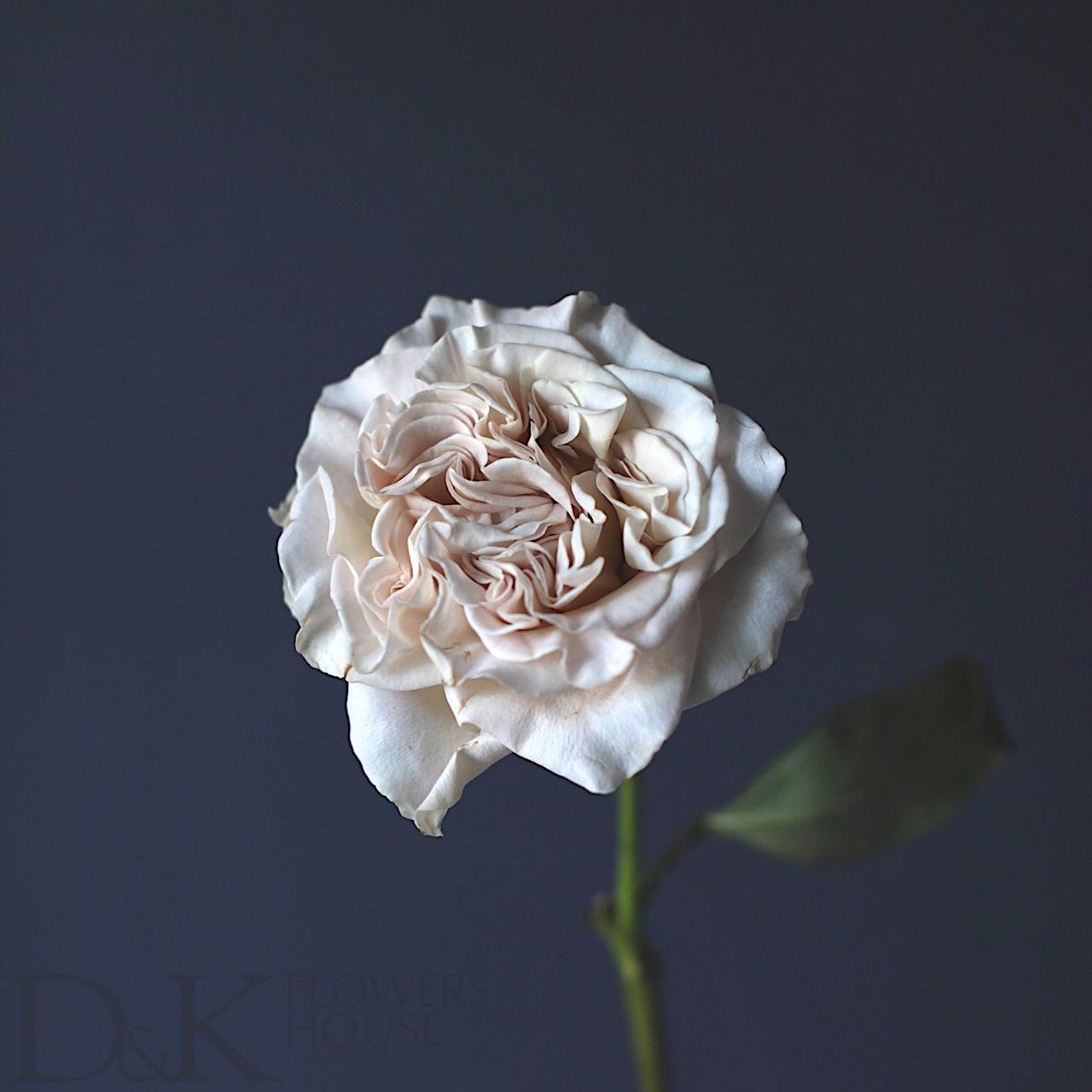Цветы «D&K Flowers House»: Роза Вестминстерское аббатство