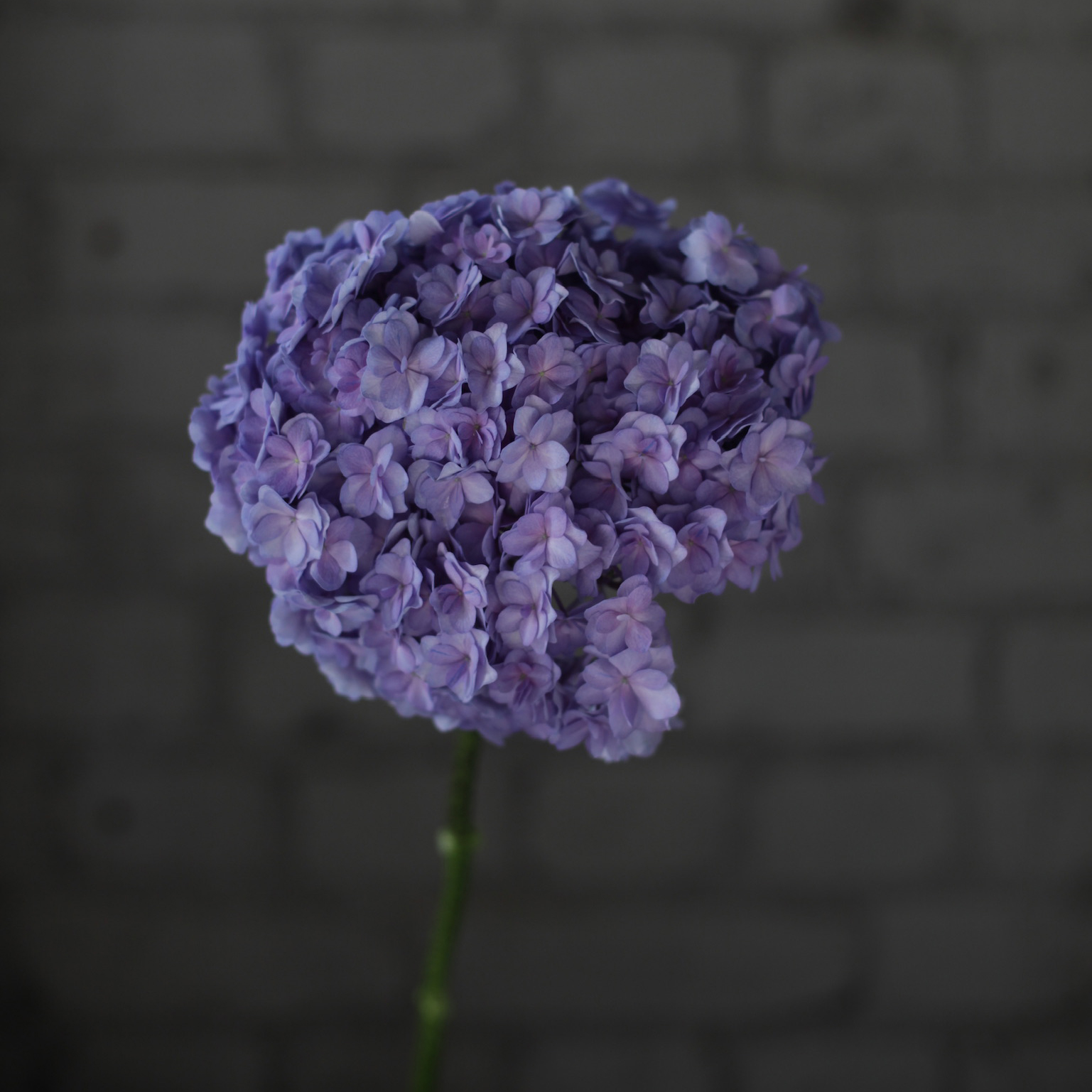Цветы «Цветы «D&K Flowers House»: Гортензия крупнолистовая LUXOR
